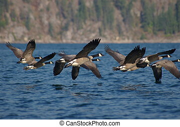 Canada Geese 3 - Canadian geese flying over a lake