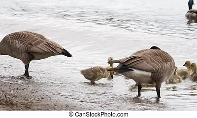 Families of Canada Geese and Goslings on Sandy Beach along Willamette River in Lake Oswego Oregon Swimming and Feeding 1920x1080