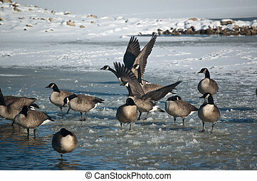 Canada Geese (Branta canadensis) on an icy pond in winter.