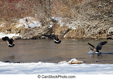 Canada Geese Coming in for Landing on Snowy Winter River