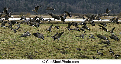 A flock of Canada geese (canadensis occidentalis) landing at a wildlife refuge.