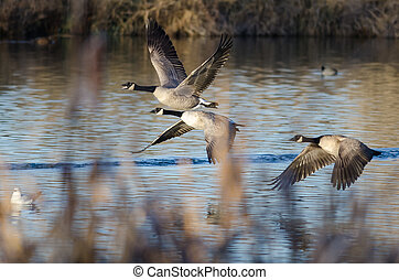 Canada Geese Flying Low Over the Autumn Wetlands