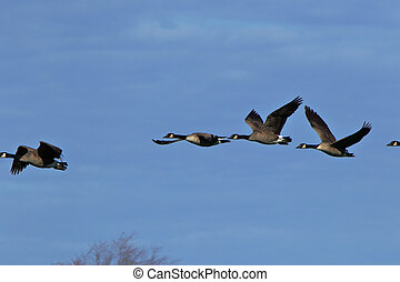 Canada geese flying together against a blue sky
