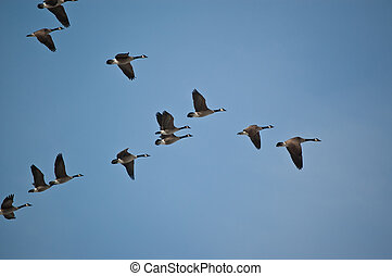 Canada Geese in Flight - A flock of Canada Geese flies in V-...
