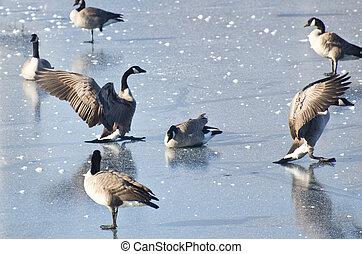 Canada Geese Landing on Frozen Lake