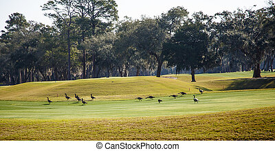 Canada Geese on Golf Course Green