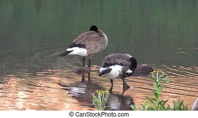 Canada Geese Preening - a pair of canada geese preening...