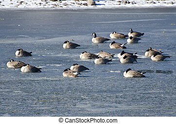 Canada Geese Resting on Frozen Lake