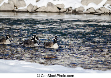 Canada Geese Swimming in a Snowy Winter River