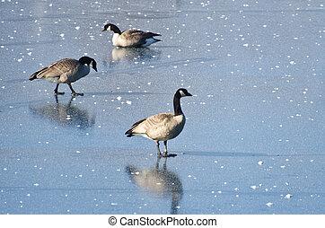 Canada Geese Walking on Frozen Lake