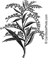 Canada goldenrod or Solidago canadensis or Canada goldenrod, vintage engraving. Old engraved illustration of Canada goldenrod isolated on a white background.