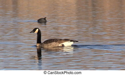a canada goose swimming on a lake