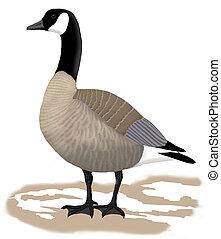 Canada Goose - Branta canadensis - lesser (parvipes)