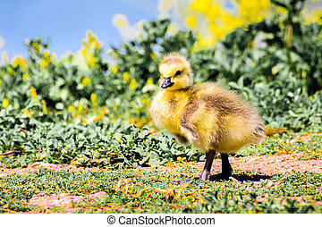 Canada Goose (Branta canadensis) new born chick posing on a meadow; green plants, yellow flowers and the blue surface of a lake in the background, San Francisco bay area, California