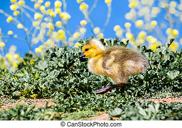 Canada Goose (Branta canadensis) new born chick walking on a meadow; green plants, yellow flowers and the blue surface of a lake in the background, San Francisco bay area, California