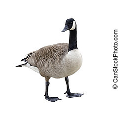 Canada goose isolated on a white background