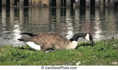 Canada Goose Eating Grass