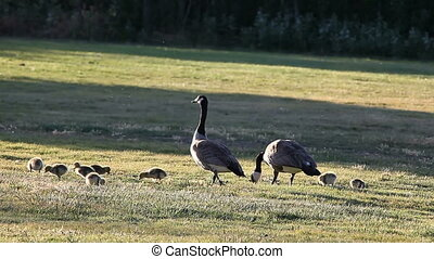 a goose family feeds on the grass at a park