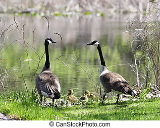 canada goose family by the lake
