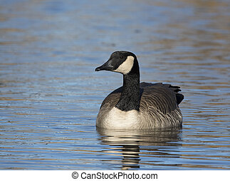 Canada goose floating on water, front view, at National Elk Refuge