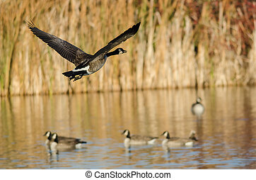 Canada Goose Flying Low Over the Autumn Wetlands