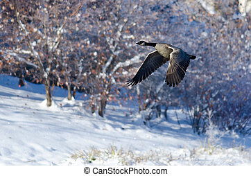 Canada Goose Flying Over a Winter Lake