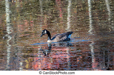 Canada Goose in a Chesapeake Bay Pand in Autumn