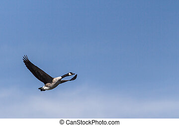 Canada Goose In Flight - Lone Canada goose in flight over...
