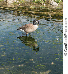 Canada Goose In Stream