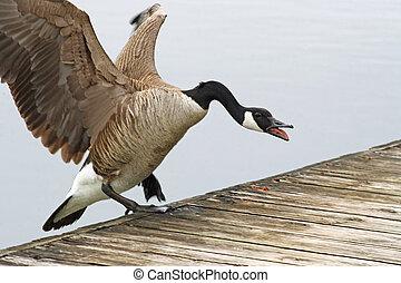 Canada Goose landing on Pier