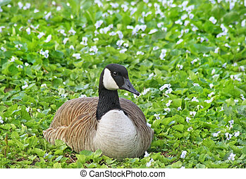 Canada Goose laying down in field covered with tiny white flowers