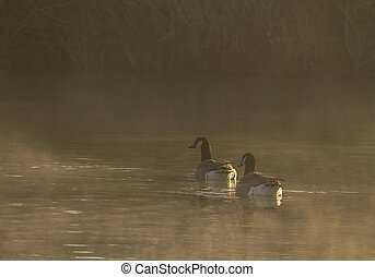 Canada Goose on a misty morning