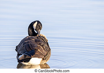 Canada Goose Preening its Feathers