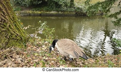 canada goose seeking food - canada goose near water seeking...