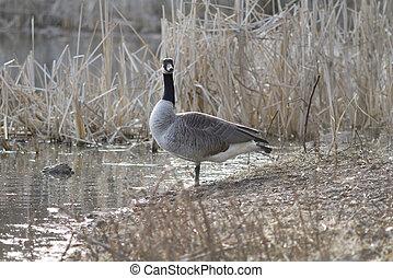 Canada Goose Shore Wader