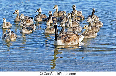 Canada Goose swimming with babies