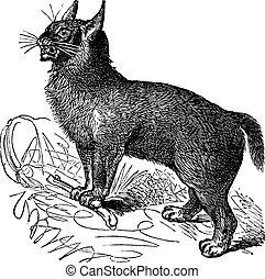 Canada Lynx or Lynx canadensis vintage engraving - Canada...