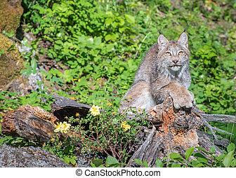 Canada Lynx Sitting on Top of a Hollow Log