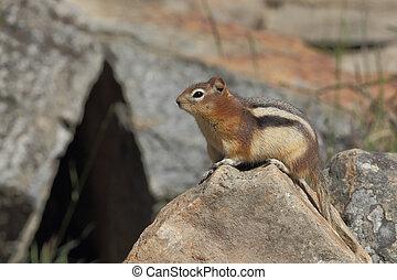 canada, scoiattolo,  Banff,  golden-mantled, nazionale,  -, parco, suolo