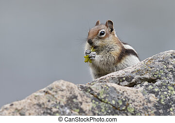 canada, scoiattolo,  golden-mantled, nazionale,  -, parco, diaspro, suolo