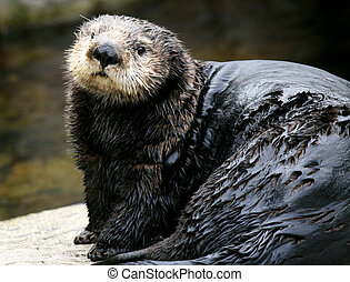 canada, vancouver, -, lontra mare