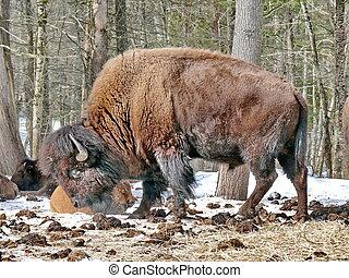 canadense, bisonte, em, winter.