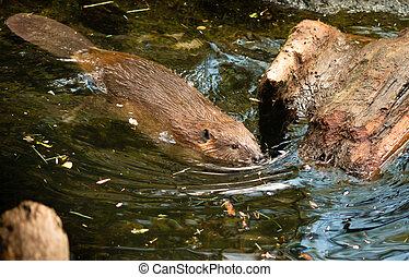 canadensis, 北方, 水壩, 美國人, 動物, 海狸, 荒野, 蓖麻, 游泳