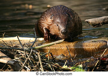 Canadian Beaver in a lake