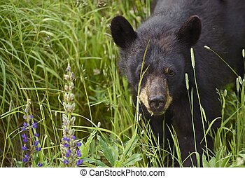 Canadian Black Bear - Young Black Bear Spotted Near Squamish...