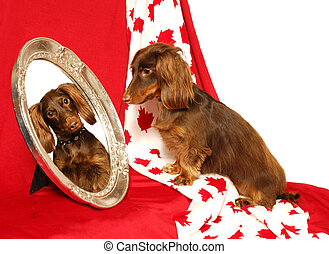 Canadian Dachshund Patriot - A long haired dachshund looks...