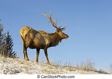 Canadian Elk on snow covered hill