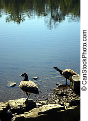 Canadian geese 1