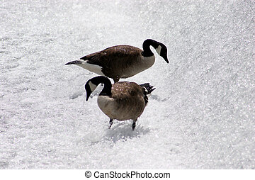 Geese Cooling Off - Canadian Geese Cooling Off In The Small...