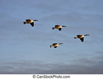 flock of canadian geese in formation